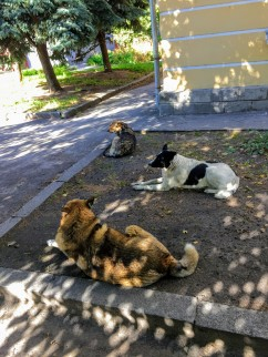 Stray dogs. The tags in their ears mean they have been spayed and neutered by the NGO that Chris works with.